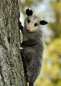 Bat Snake Skunk Chipmunk Amp Opossum Removal In Sw Florida