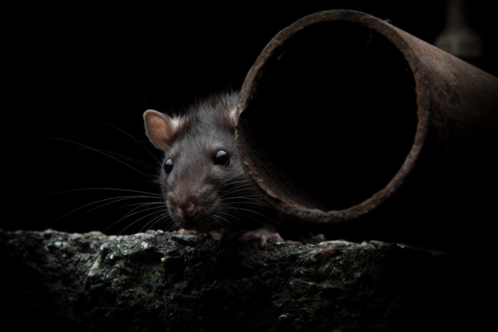 Wildlife Rodent Removal For Tampa Fl By Hughes Exterminators