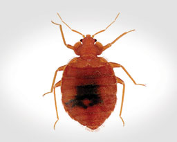 Why Do Bed Bugs Exist 28 Images How Big Are