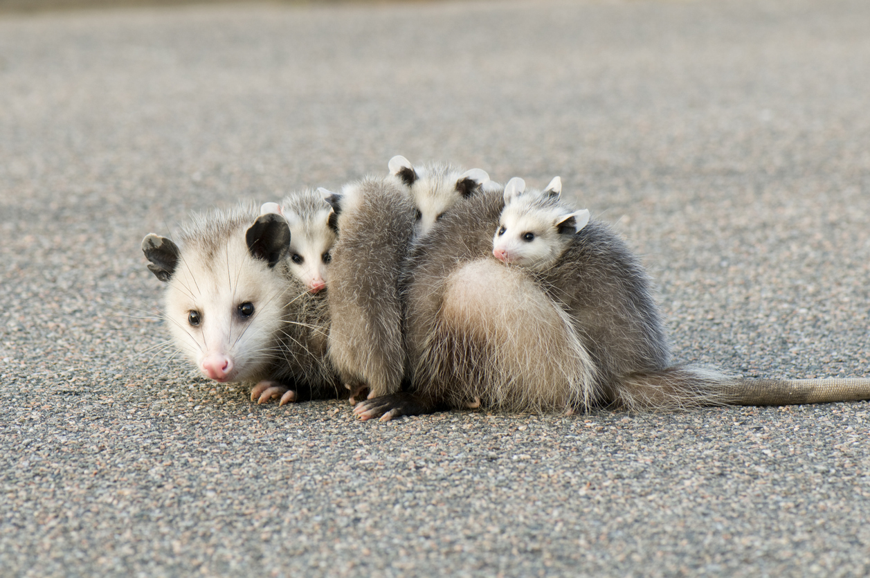Awesome Opossum:  The World's Most Misunderstood Marsupial