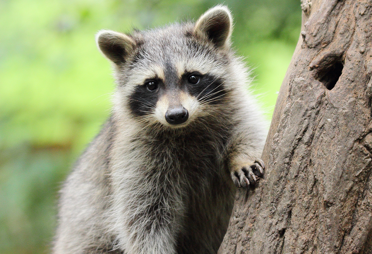 Can Raccoons Be Pets?