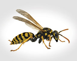 Wasp & Other Stinging Insect Control
